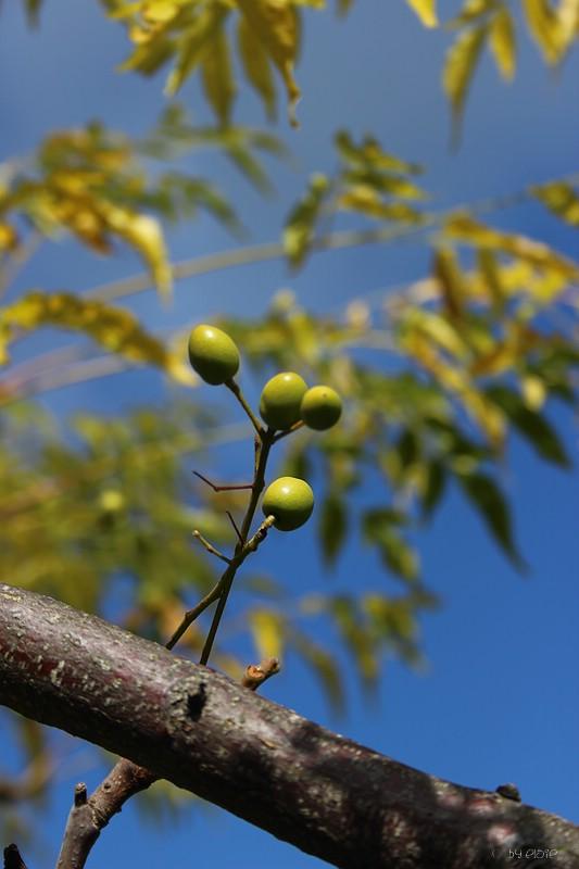 Beeren des Japanischen Flieders