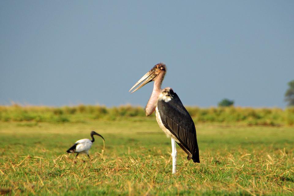 Vogelwelt im Chobe-Nationalpark