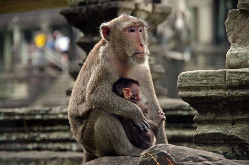 Angkor Wat, Äffchen