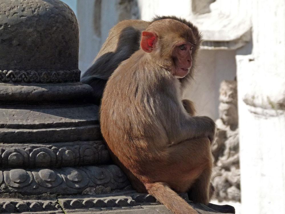 Kathmandu, Swayambhunath Tempelbewohner