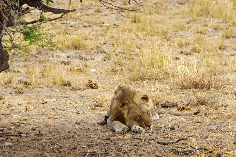 abermalige Löwensichtung