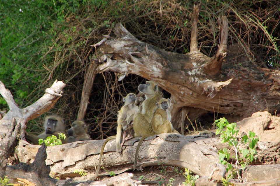 Paviane im Chobe-Nationalpark
