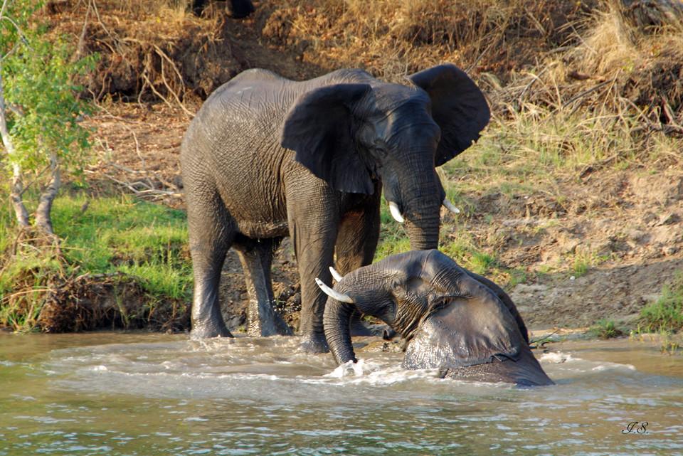 Elefanten am Sambesi