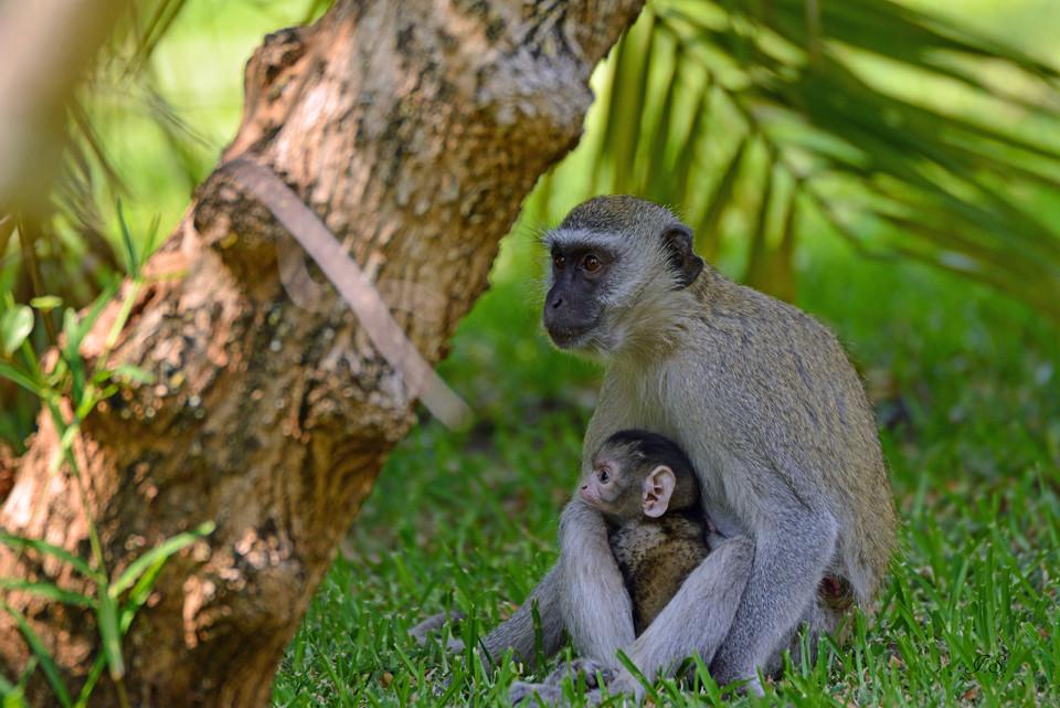 Affenfamilie