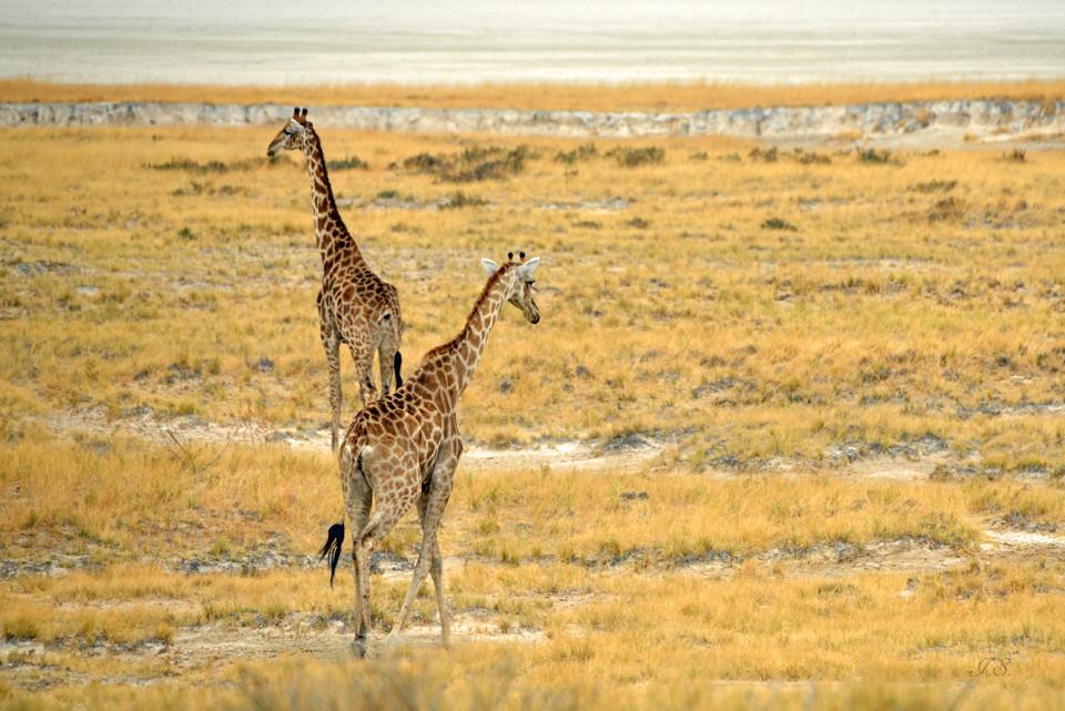 Giraffen auf dem Weg zum Wasserloch