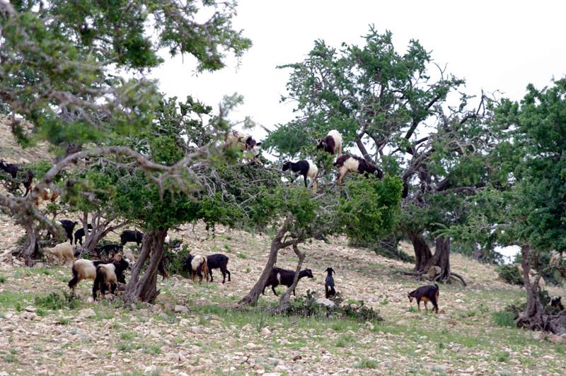 Ziegen auf Arganienbäumen