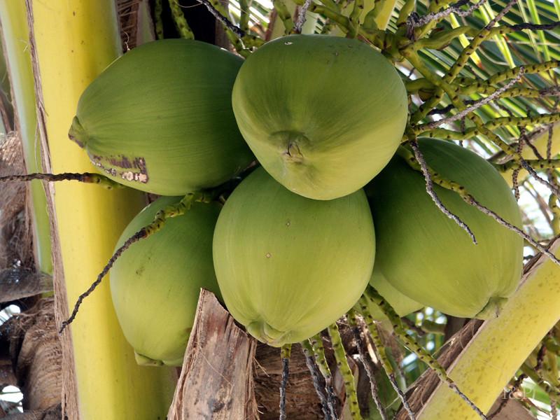 Kokospalme in Tulum