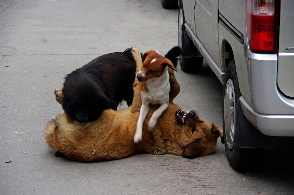 Hunde, Zhangmu