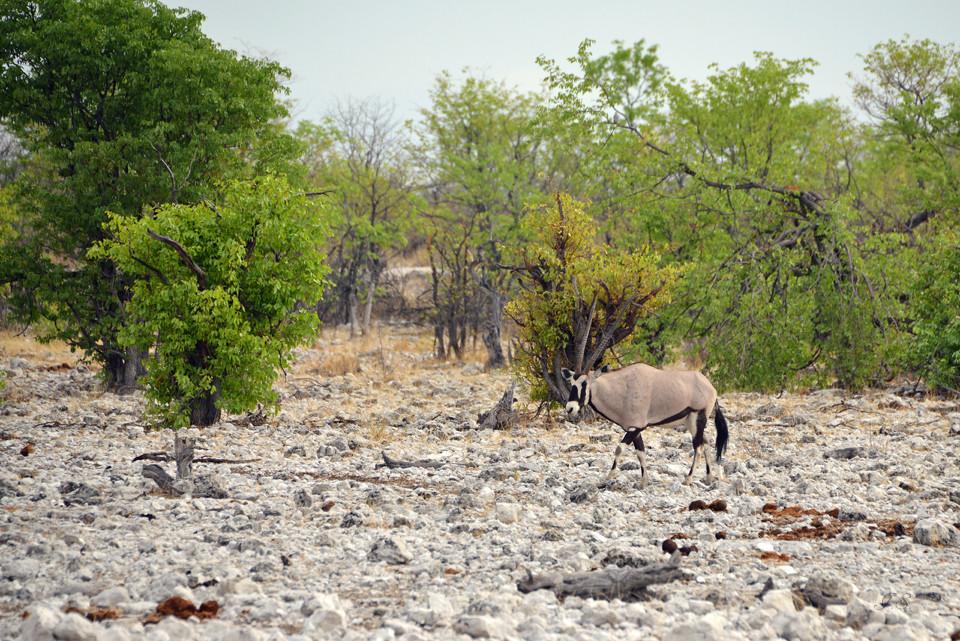 Tierwelt im Etosha-Nationalpark
