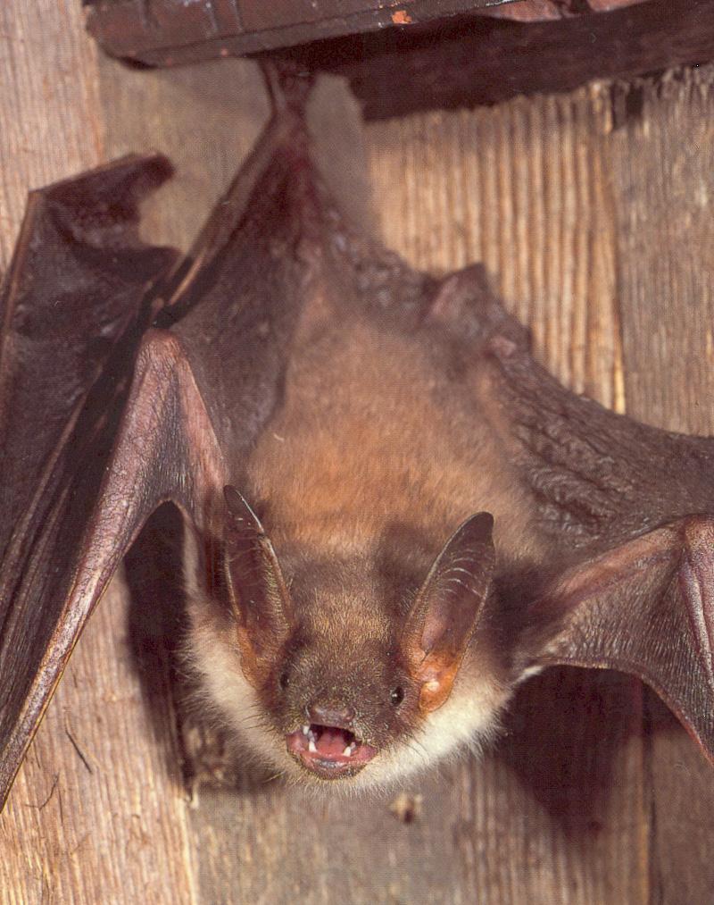 Das Grosse Mausohr gehört zu den gefährdeten Fledermausarten. Foto: www.fledermausschutz.ch