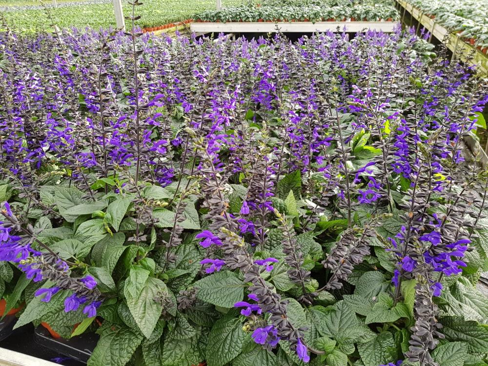 Salvia Black &Bloom