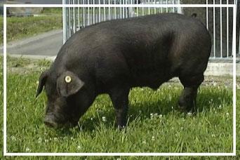 新しく開発された高品質肉豚「フジキンカ」