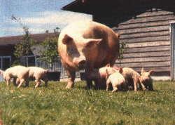 静岡型銘柄豚