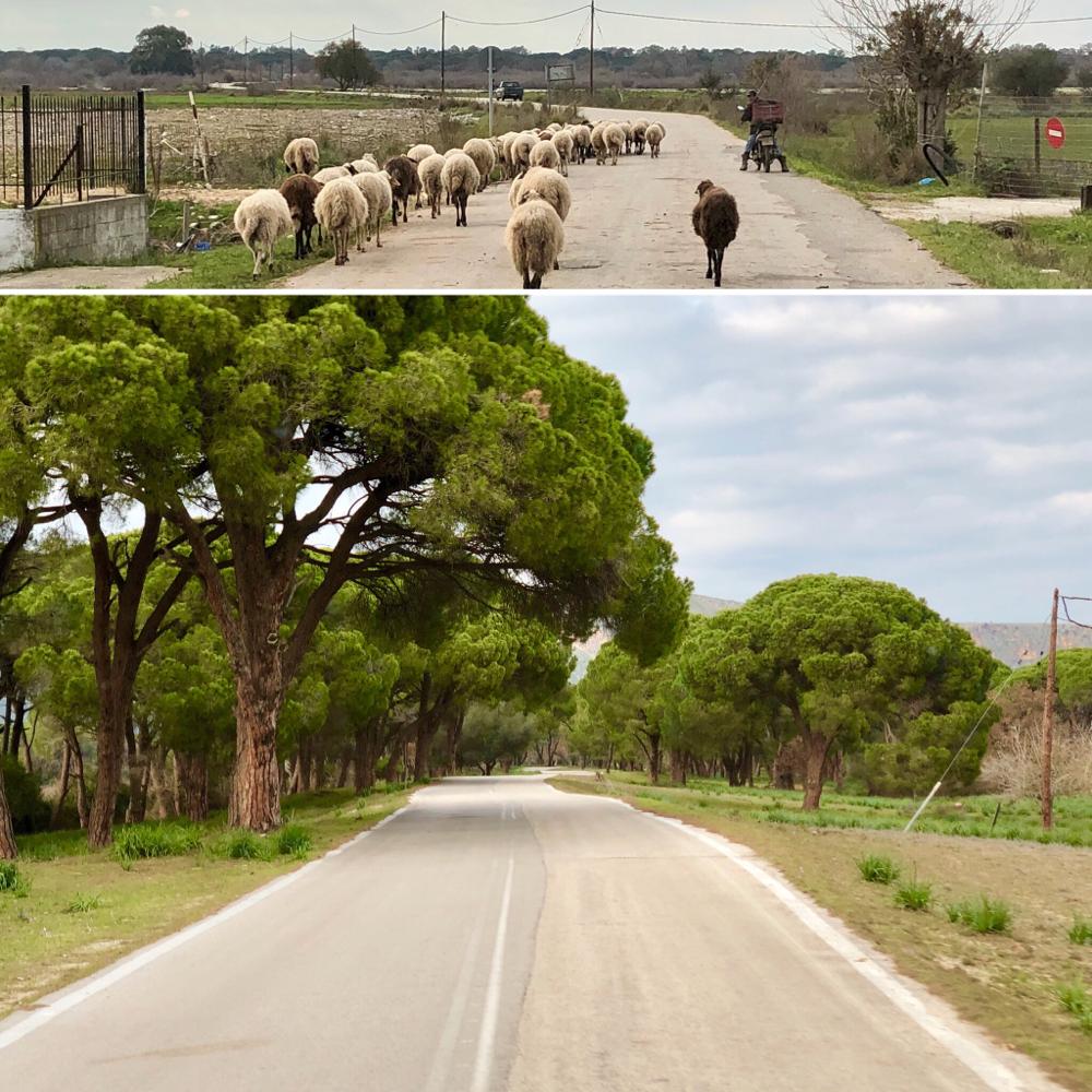 Schafe & Pinienwälder