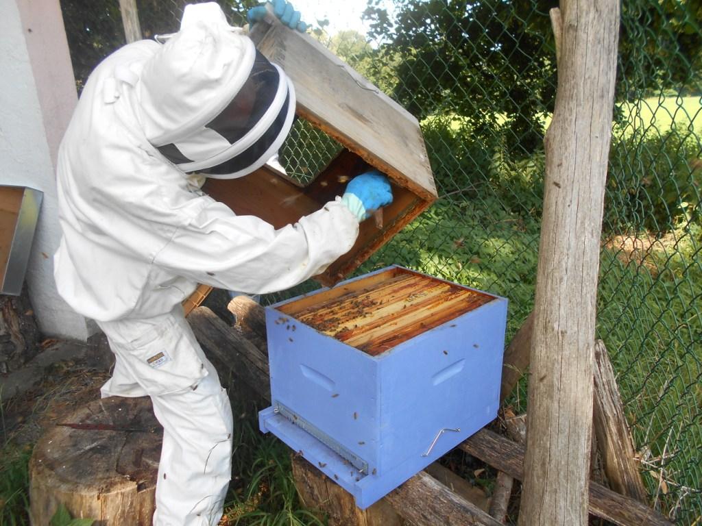 Passer un coup de brosse dans l'ancienne ruche, toujours pour bien récupérer toutes les abeilles.