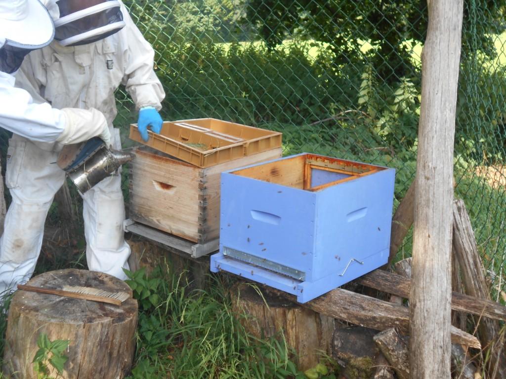 Mettre la nouvelle ruche en lieu et place de l'ancienne. Ici, l'ancienne ruche a été décalée vers la gauche. Enfumer l'ancienne ruche.