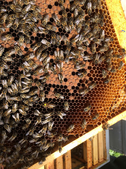 Photo avec abeilles, couvain et reine marquée en jaune (2017)
