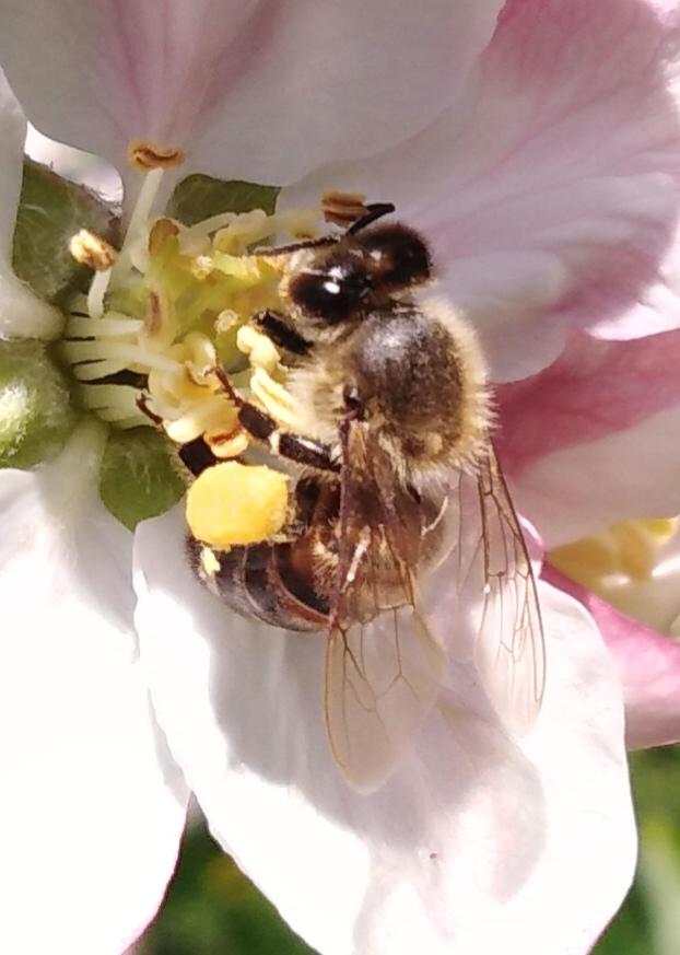 Abeille sur fleur de pommier