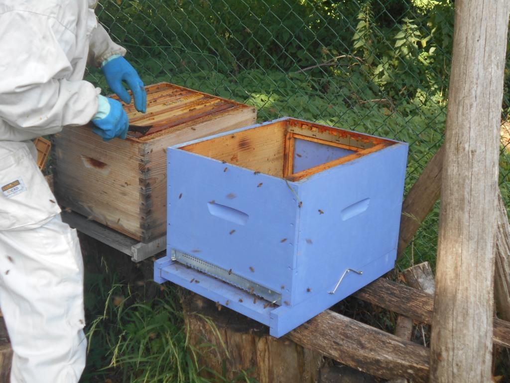 Changer les cadres de ruche. On voit les butineuses qui arrivent !