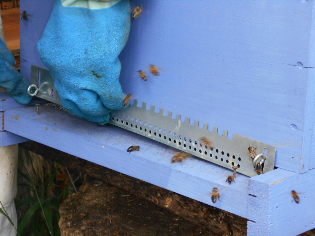 Cette ruche est destinée à partir. Marc la prépare pour le voyage. Mise de la grille dans le bon sens pour la fermer lors du transport.