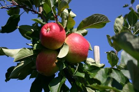 Jonagored auf www.mein-kirschbaum.de