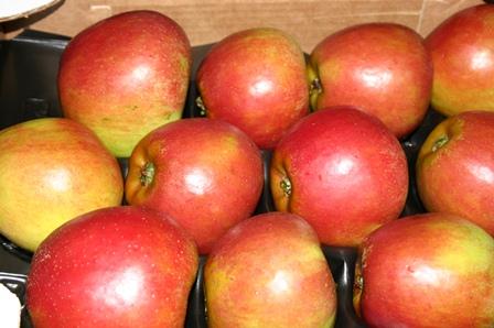 Obst aus dem Alten Land, Holsteiner Cox auf mein-kirschbaum.de