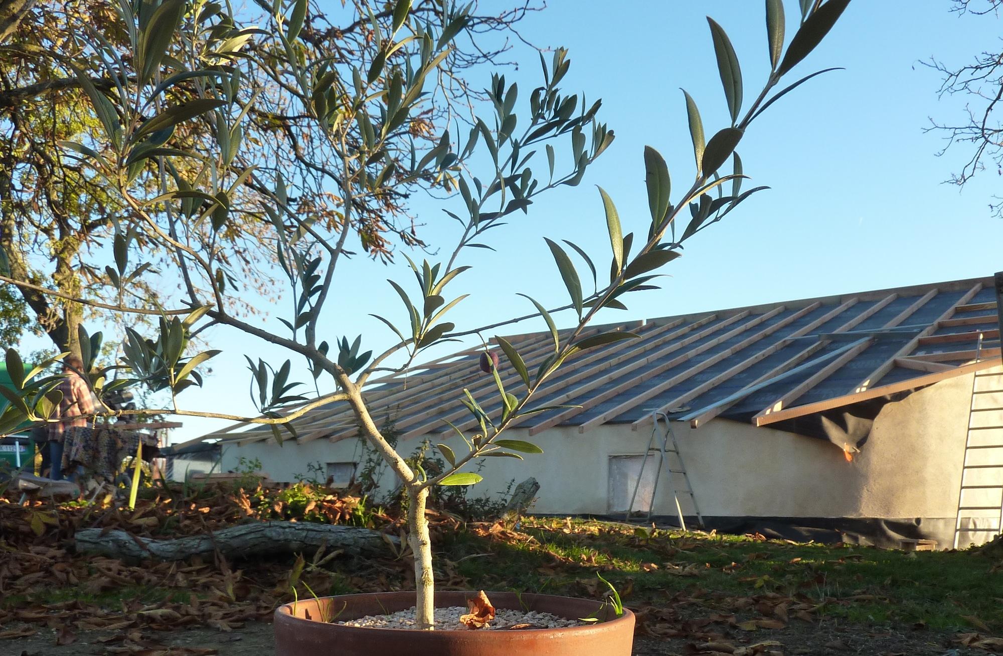 petit olivier fier de sa première olive sur fond de toit chevronné