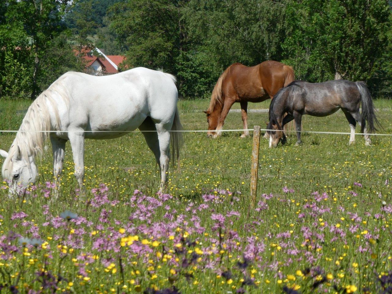 Die Pferde Sindy, Jenny und Lilly