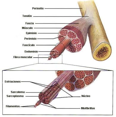 Imagen obtenida de http://magisnef.wordpress.com/2007/04/02/fisiologia-muscular-componentes-del-musculo/