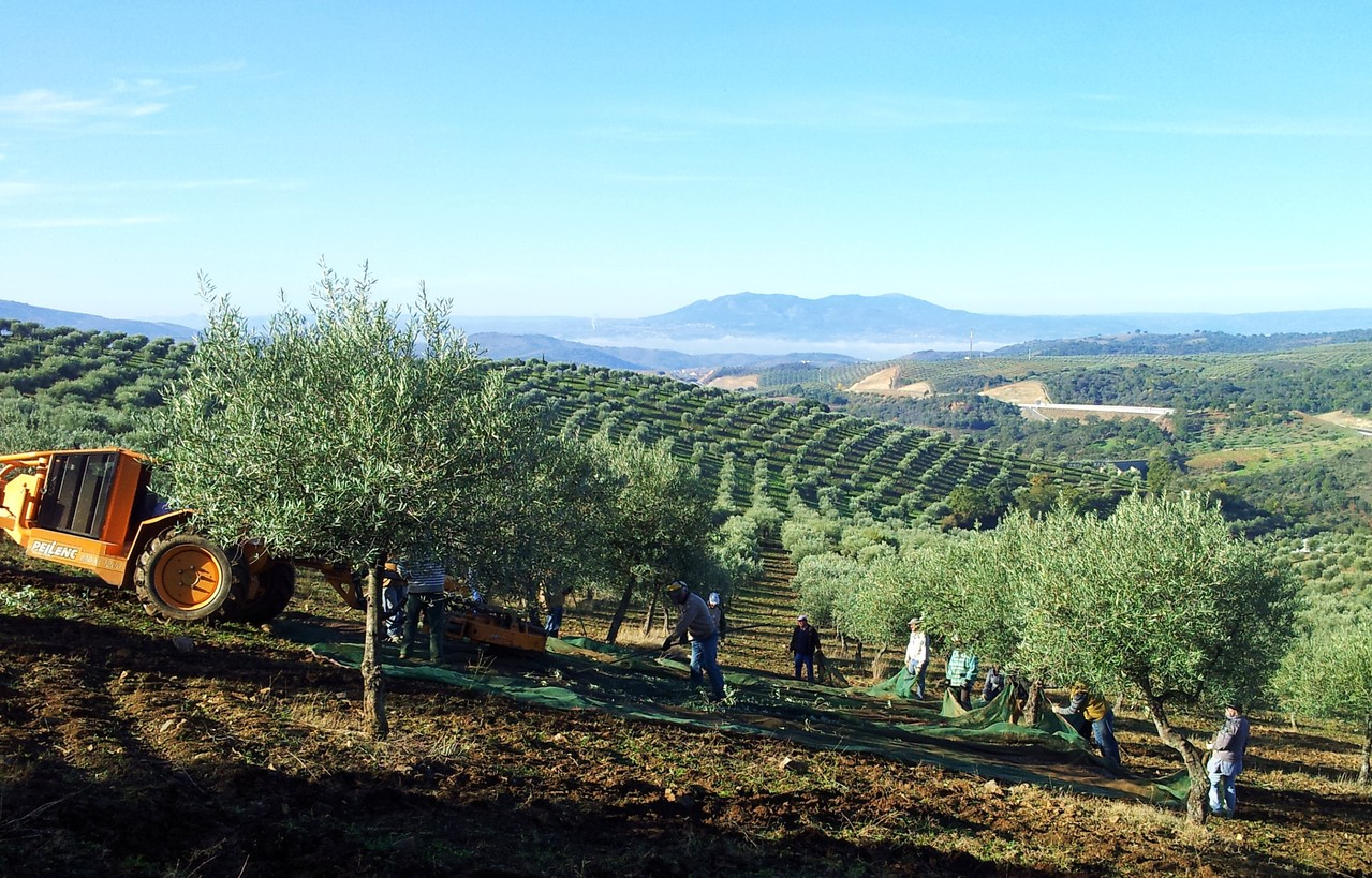Romeu Olivenernte