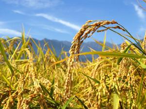 玄米の免疫力効果
