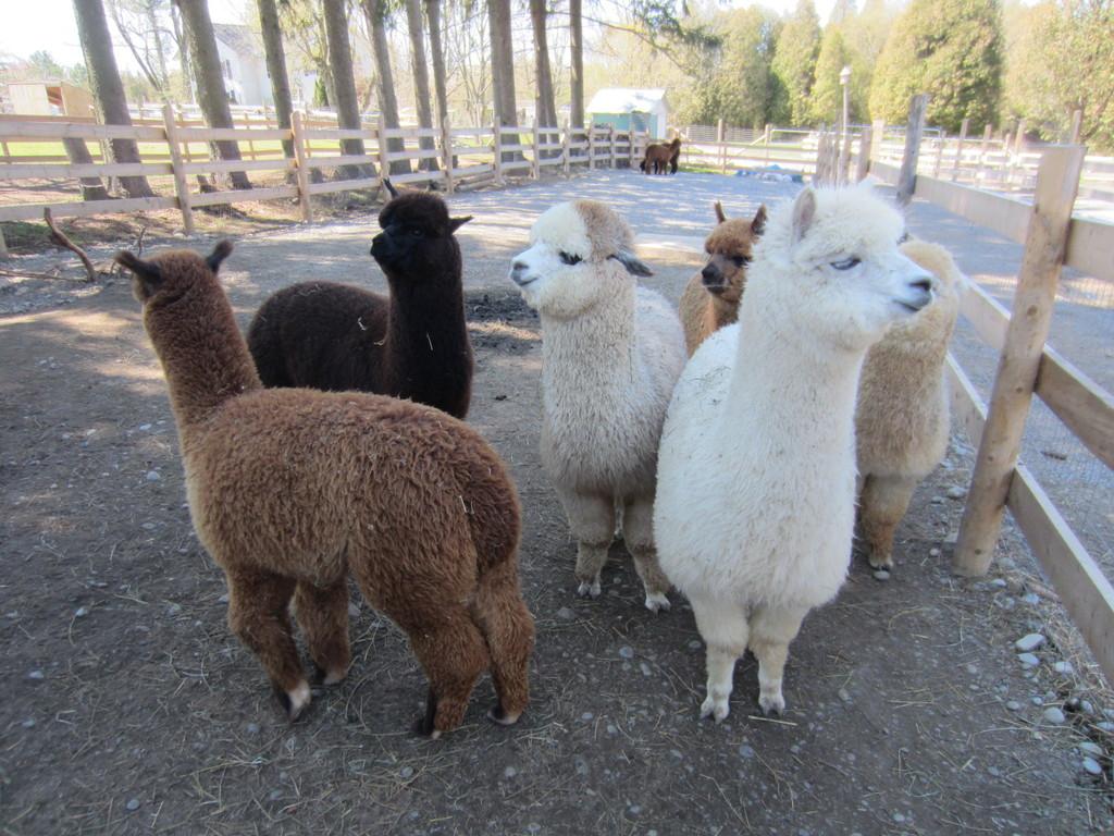 Ontario Alpaca Farm