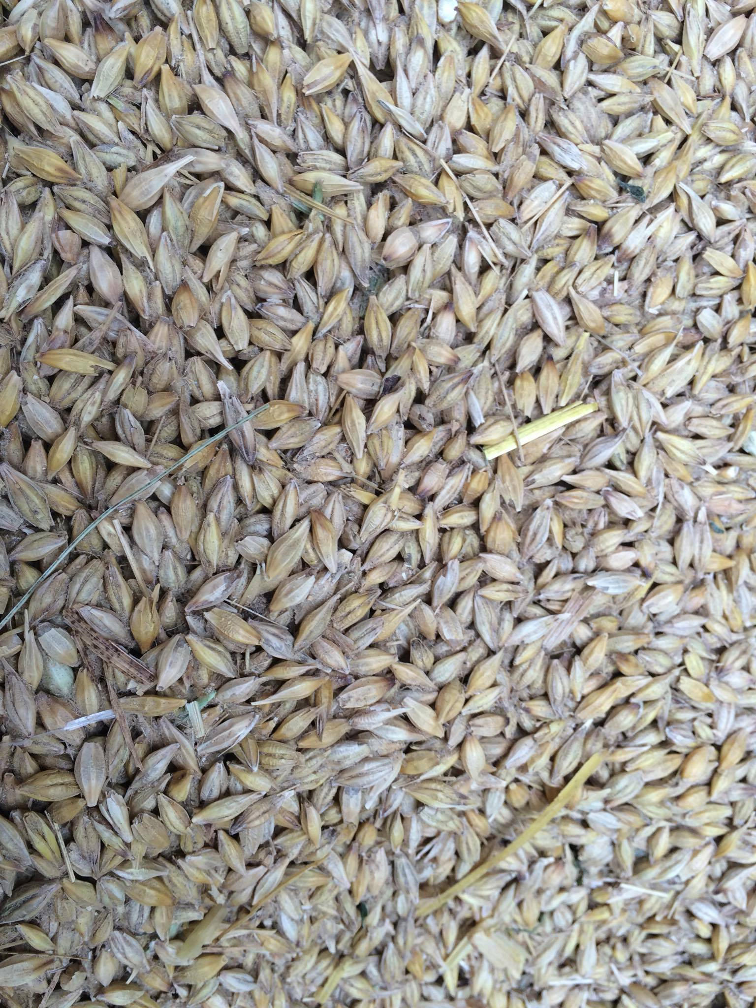 grains d'orge