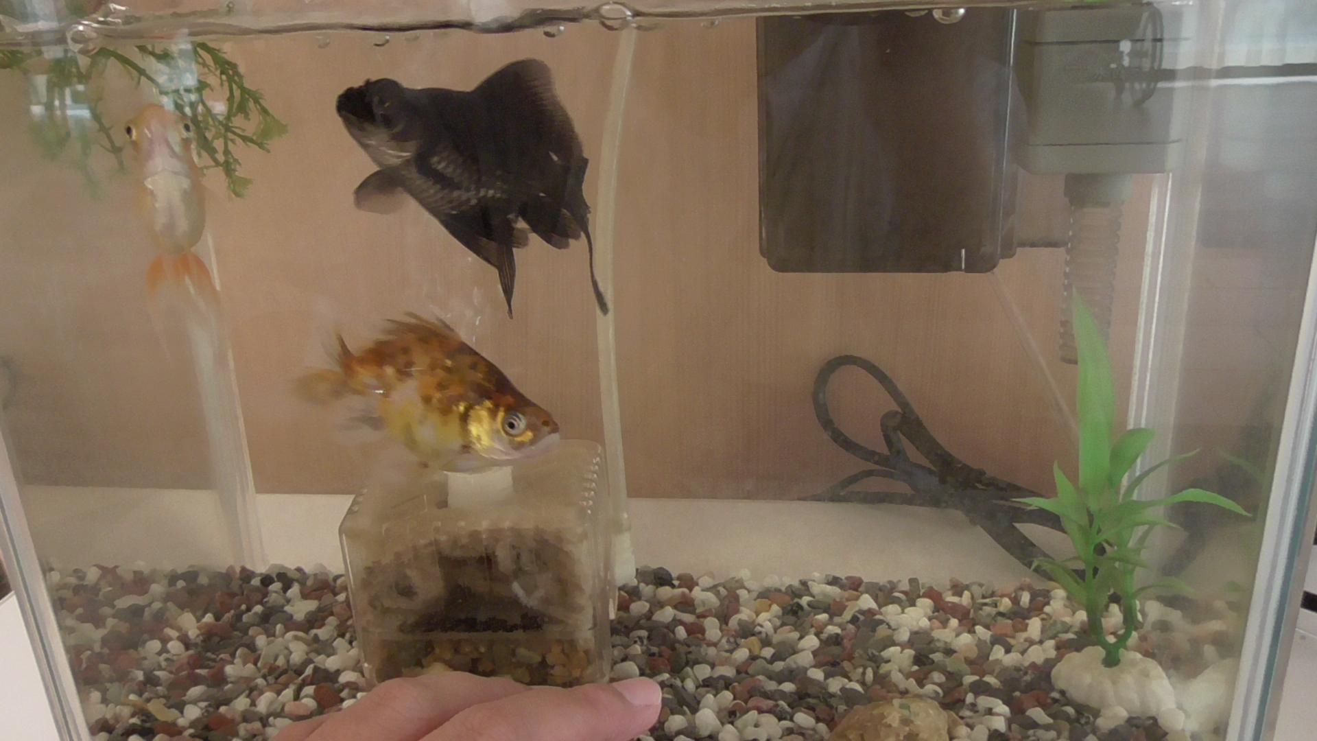 金魚の成長!!