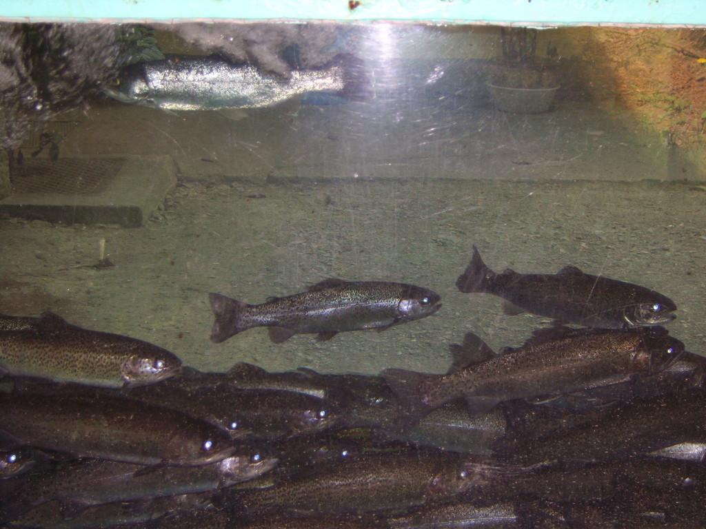 Gegenüber vom Haupteingang gibt es lebend frische Forellen zu bewundern