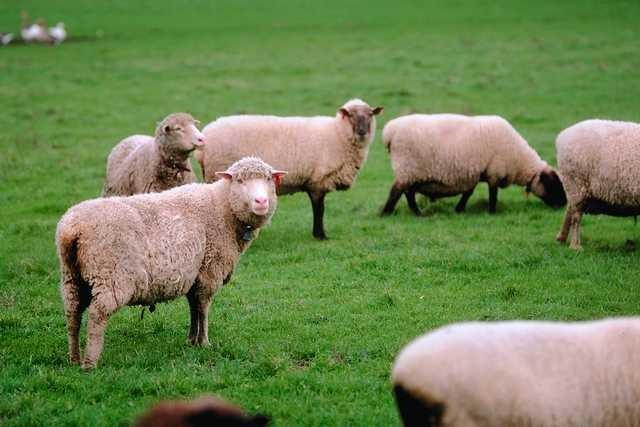 Schafe zum streicheln!
