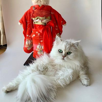 ほぼ必ず作品の写真撮影をジャマしに来る愛猫チンチラシルバーの「ぎんぎん」
