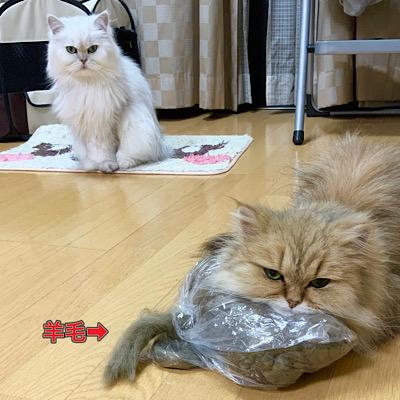 羊毛を枕にする愛猫チンチラゴールデンの「もかちゃん」