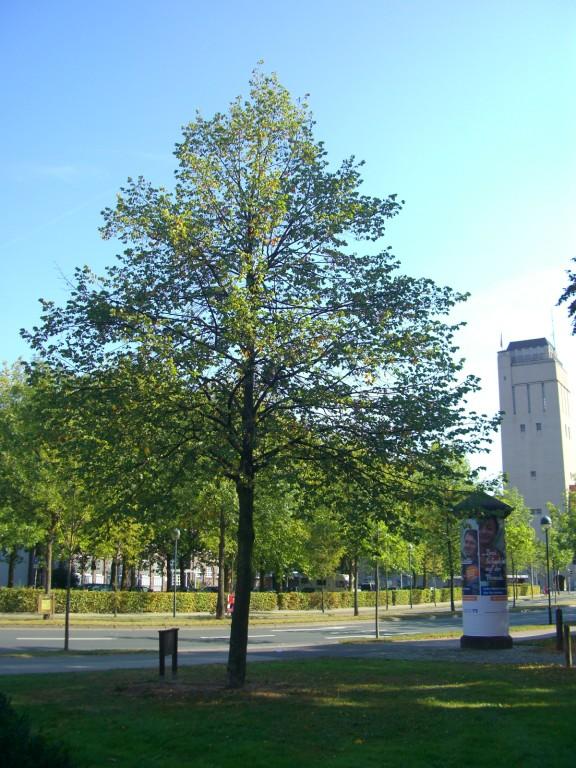 Hans-Böckler-Platz/Marktstraße - Friedenslinde