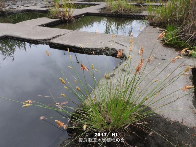 渡良瀬遊水地に生育しているヤマイの全体画像と説明文書