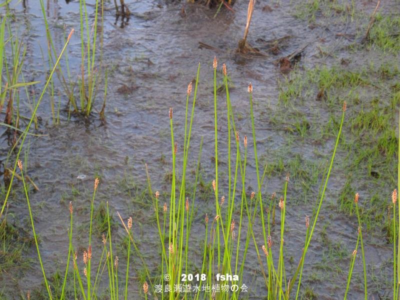 渡良瀬遊水地に生育するコツブヌマハリイの全体画像と説明文書