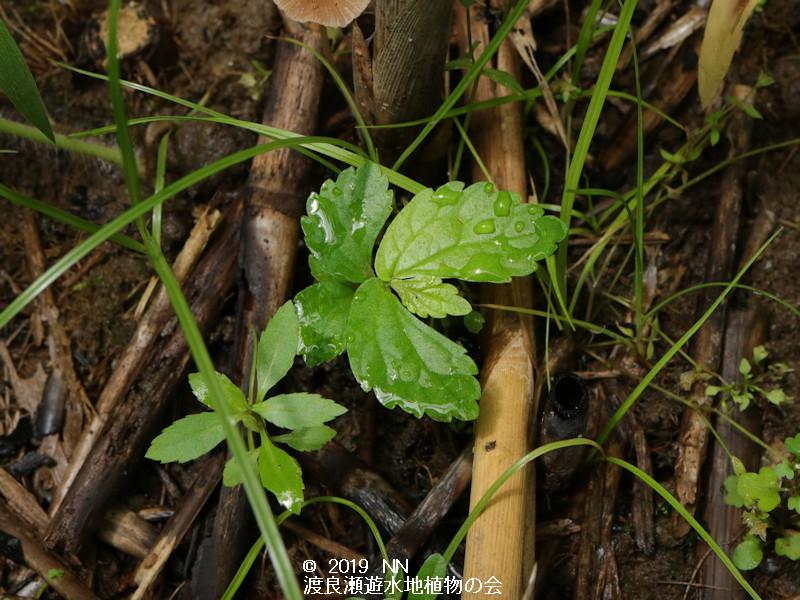 渡良瀬遊水地に生育する絶滅危惧種トキホコリの画像