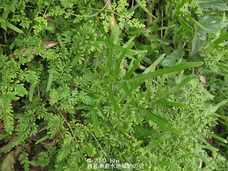 渡良瀬遊水地に生育しているカニクサの画像その1