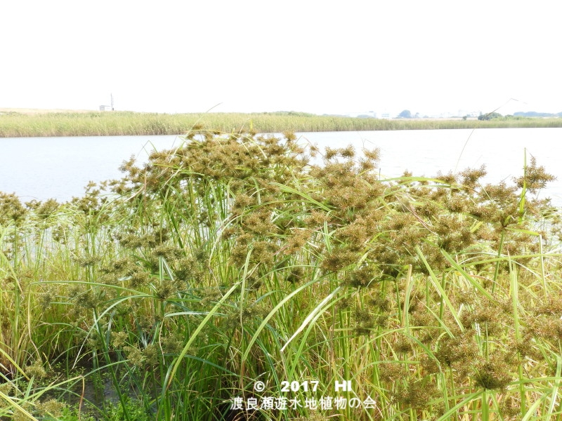 渡良瀬遊水地に生育するカンエンガヤツリの全体画像と説明文書