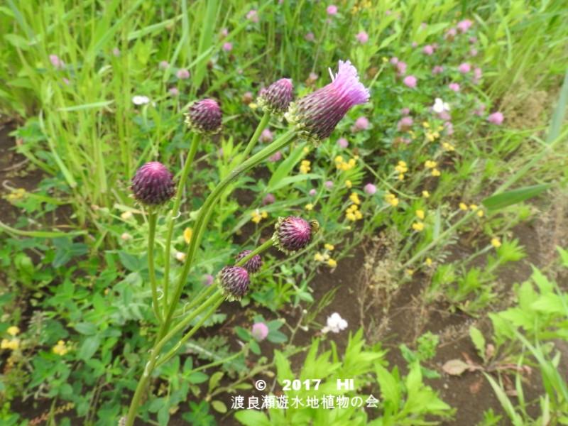 渡良瀬遊水地に生育するキツネアザミの全体画像と説明文書