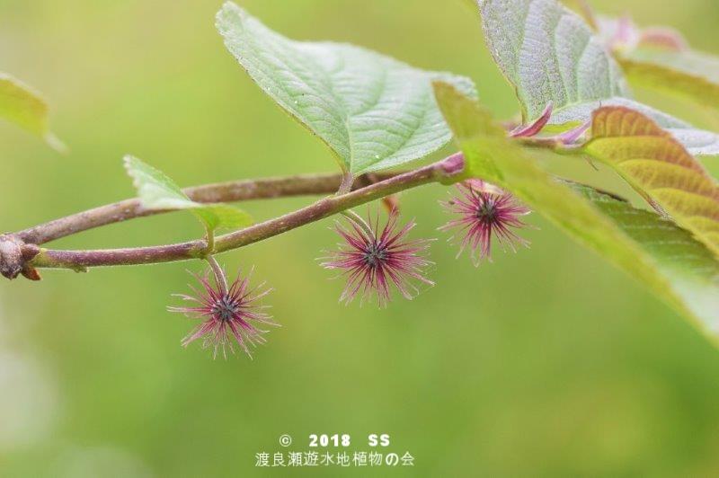 渡良瀬遊水地に生育しているヒメコウゾの全体画像と説明文書(雌花)