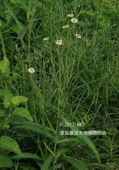 アキノノゲシの全体画像と説明文書(開花)