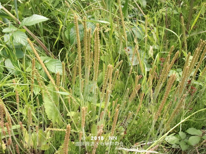 渡良瀬遊水地に生育しているツボミオオバコの全体画像と説明文書