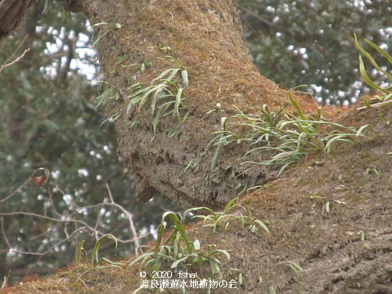 渡良瀬遊水地のノキシノブの画像その1