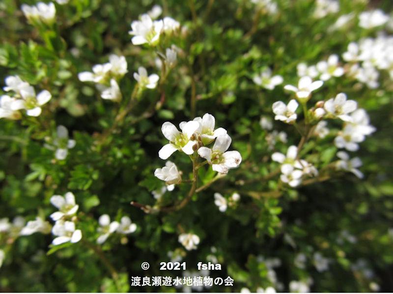 渡良瀬遊水地に生育するコカイタネツケバナの画像と説明文書